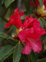 Rhododendron 11 by botanystock