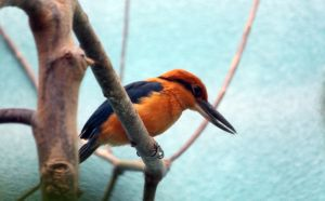 Micronesian Kingfisher by CASPER1830