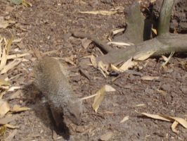 Zoo Oliemeulen - Mongoose 02 by WINGCAPMAN