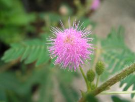 blossom of a mimosa by Criosdan
