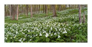 Trillium Forest Panorama by Julian-Bunker