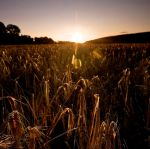 Barley by Hollowpoint303