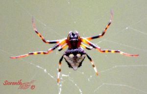 Triangulate Orb Weaver by sioranth