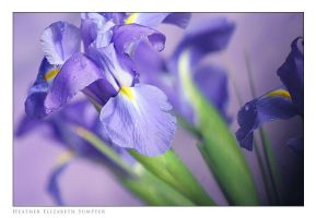 Iris II by epiphany