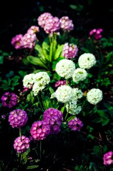 film. Bouquet of Primroses by Zeitwolf