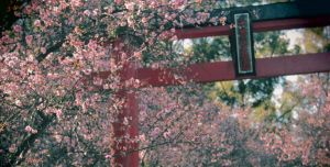 Cherry Blossoms #3 by Onigiripencil