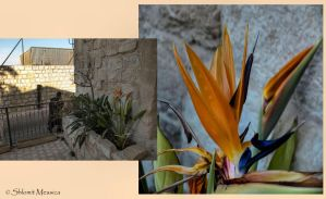 Flowers in the old city by ShlomitMessica