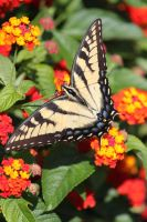 Eastern Tiger Swallowtail 4 by CASPER1830