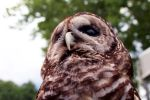 Barred Owl by foxsilong
