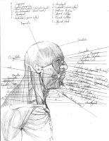muscles_head_neck_lateral by Whune