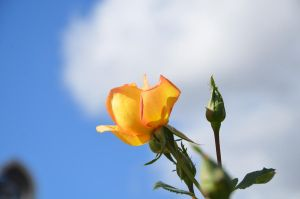 yellow flower blue sky by saxartist05