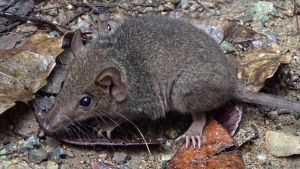 Antechinus by CouchyCreature