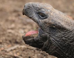 giant galapagos tortoise by filthyhandss