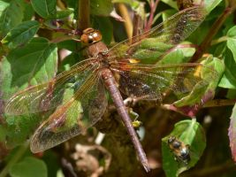 Shropshire damsels and dragons 2 3 by melrissbrook