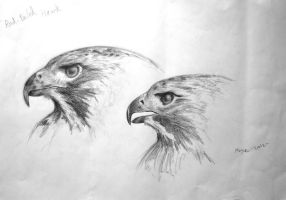 Red-tailed hawk study by munchengirl