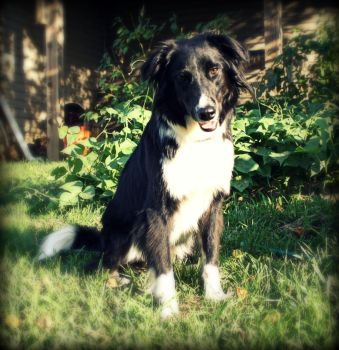 Rufus the Border Collie by swim2birds