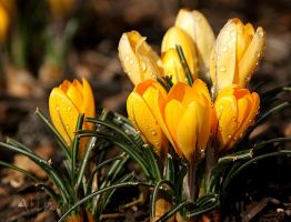 Yellow Crocuses by AlinaKurbiel