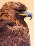 Regal Golden Eagle by runique