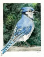 Blue Jay Watercolor by M-Everham