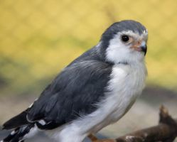 The Pygmy Falcon by Photoguy42