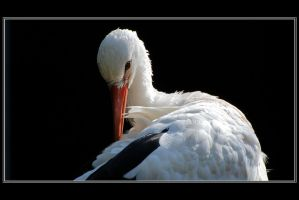A white stork by Rajmund67