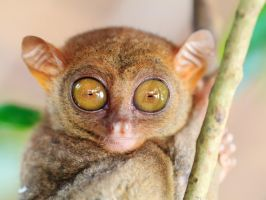 Phillipine tarsier I by MotHaiBaPhoto