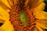 Sunflower II by Passion4Photos