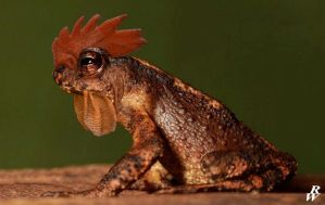 Rooster Toad by Dwarf4r