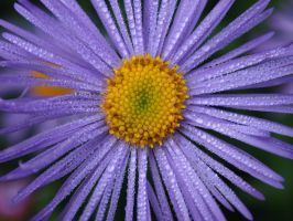Dew Drops on the Daisies by Squiddgee7734