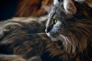 Maine Coon by AuroraPrints