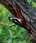 Woodpecker 4 by bluesgrass