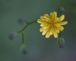 little yellow flower 1 by marob0501