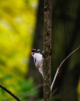Downy Woodpecker by S-H-Photography