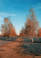 Birches by PhotoTori