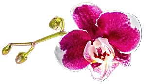 White and Pink Orchid by jeanicebartzen27