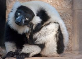 Hello? Yes, this is lemur. by robbobert