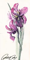 Purple Iris by duhi