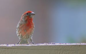 Red Headed Finch III by PamplemousseCeil