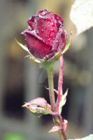 A Single Rose! by AmberMoonPhoto