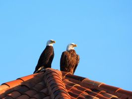 A Pair of Eagle's by professorwagstaff