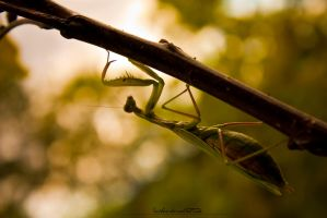 Praying Mantis by iceSkar