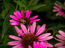 Coneflower and Bee by Rlantz93