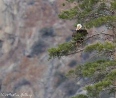 Bald Eagle 150406-12 by MartinGollery