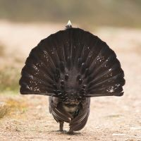 The end is nigh! - Capercaillie by Jamie-MacArthur
