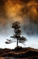 6.5.2014: Lonely Pine Tree by Suensyan