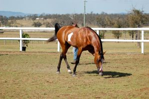 GE pinto trot sidefront head down by Chunga-Stock