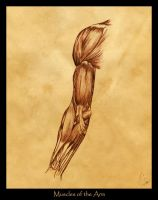 Study of Muscles of the Arm by KatGirlStudio