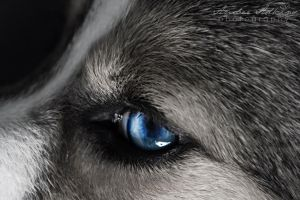 Eye of the Pup by Adkins-Photography