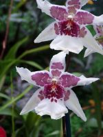 .stock: orchid 2. by guavon-stock