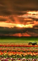 Tulips In The Sunset by dianar87